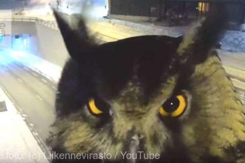 O bufniţă, protagonista neobişnuită a unei filmări cu o cameră de trafic în Finlanda