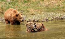 Suedia: Modificare de comportament la femelele urs, care își păstrează mai mult timp puii lângă ele, ca scut împotriva vânătorilor
