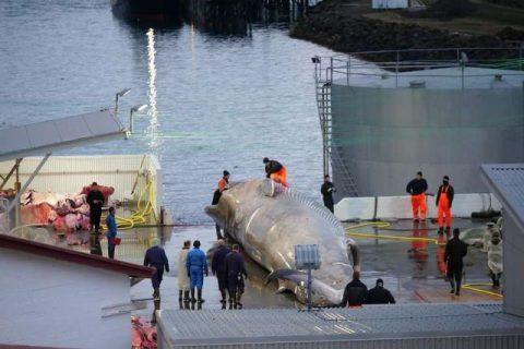 Islanda, acuzată că ar fi ucis o balenă albastră