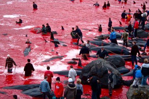 Apa oceanului s-a făcut roșie, după ce sute de balene au fost sacrificate în Insulele Feroe